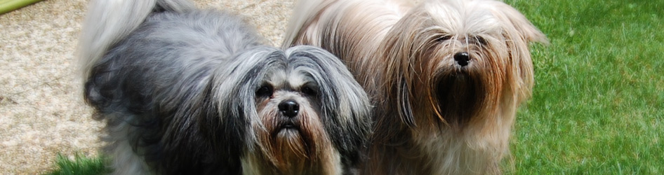 chiens lhassa apso - lhasa apso dogs