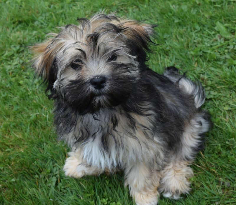 Kyichu Kyi Elevage De Lhassa Apsos Authentiques Breed Of Authentical Lhasa Apso Dogs Breeder Of Authentical Lhasa Apso Dogs
